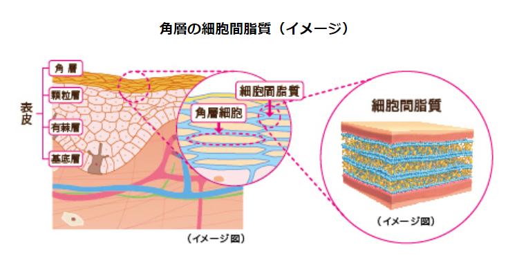 角層の細胞間脂質