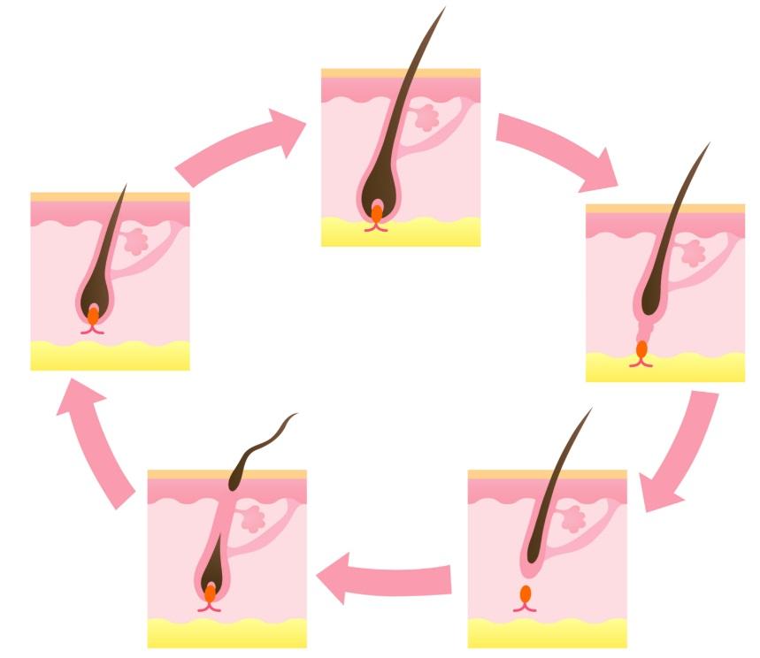 毛周期 模式図